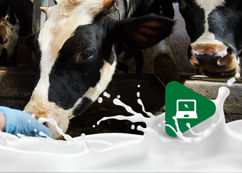 Relação entre bem-estar das vacas leiteiras e a produção de leite