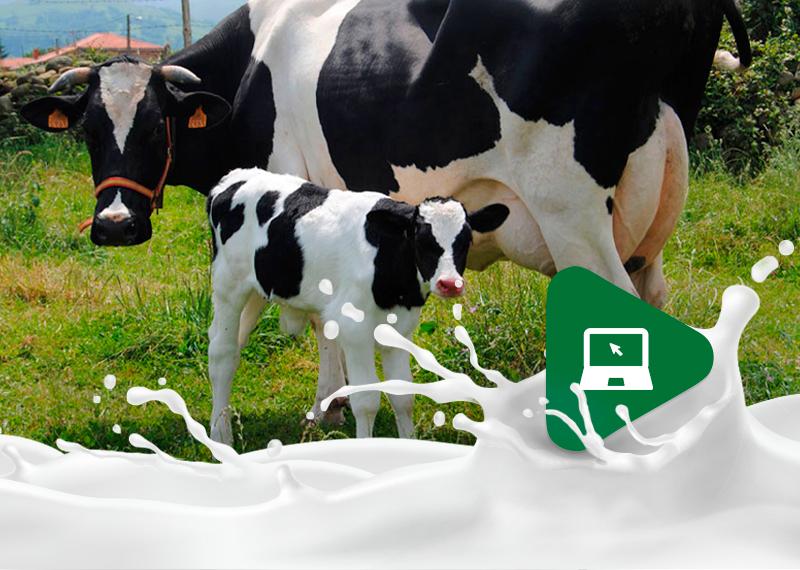 Retenção de placenta: saiba como proceder com as vacas do seu rebanho.
